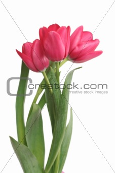 Three red tulips on a white background