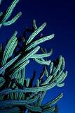 Large organ pipe cactus