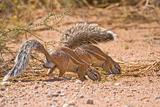 Foraging ground squirrels