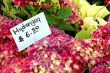 Hydrangea at Market