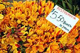 Peruvian Lilies