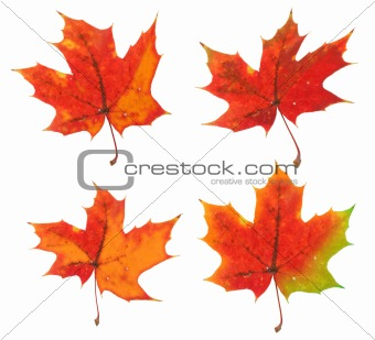 four variants of the same maple leaf