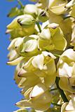 Yucca Flower