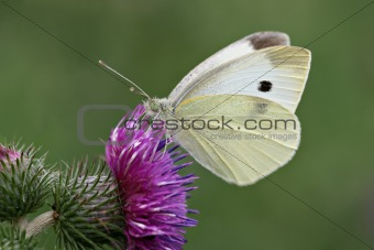 Cabbage white on a thistle