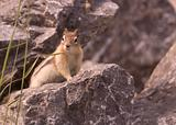 Golden mantled ground squirrel.