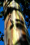 Eucalyptus and vivid blue sky