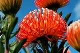 Protea and bee against a vivid blue sky