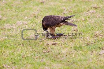 A falcon and its lure