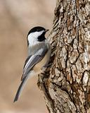 Black-capped Chickadee (Parus atricapillus)