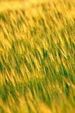 ear wheat, vertical