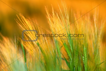 ear wheat, orange