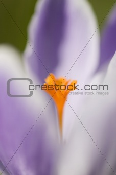 Abstract crocus background