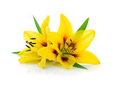 Two yellow lily