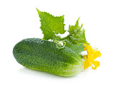 Ripe cucumber fruit with leaves and flower