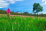 Siam tulip field on Chai Ya Phoom,Thailand
