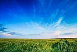 Green Wheat Field Blue Sky