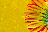 close up flower gerbera on yellow bokeh background