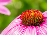 Echinacea purpurea up close