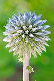Blue globe thistle (Echinops)