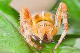 Araneus diadematus
