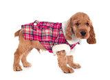 dressed puppy english cocker