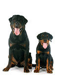 puppy and adult rottweiler