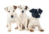 three jack russel terrier