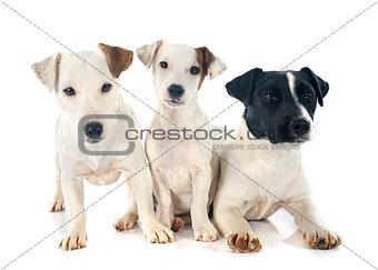 three jack russel terrier