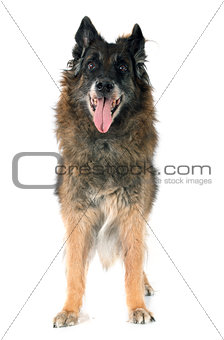 old belgian shepherd