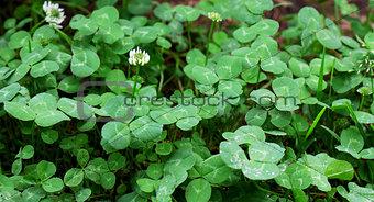 Green grass clover seamless texture