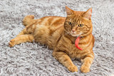Red cat with red collar