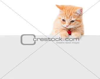 little Ginger british shorthair cats with white board