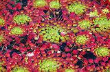 Mosaic Plant Ludwegia sedioides