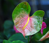 pink green anthurium Flower
