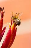 Bee on cordyline plant