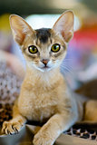 Abyssinian cat portrait