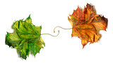 Two dry maple-leafs, orange and green