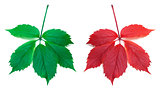Red autumn and green virginia creeper leaves