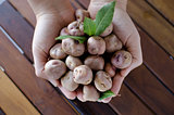 Hands holding organic andean potatoes