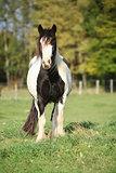 Gorgeous irish cob standing on pasture