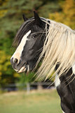 Gorgeous irish cob with long mane