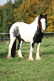 Gorgeous irish cob standing on pasture