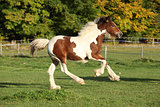 Gorgeous irish cob foal running on pasturage
