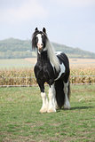 Beautiful irish cob stallion on pasturage
