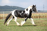 Gorgeous stallion with long flying mane