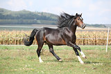 Nice brown stallion with long mane running