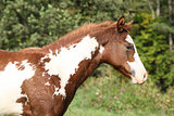 Gorgeous paint horse foal in freedom