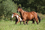 Mare with foal running in freedom