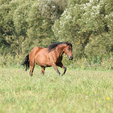 Brown mare with long mane running