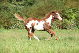 Nice paint horse foal running in autumn